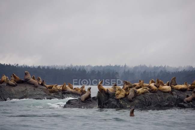 Leoni marini a riposo — Foto stock