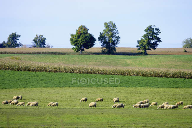 Pâturage de moutons dans un champ d'herbe — Photo de stock