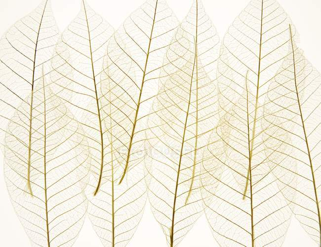 Layered transparent leaves — Stock Photo