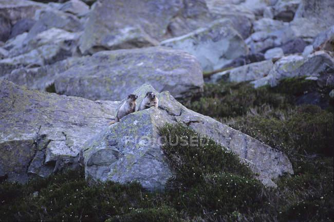 Murmeltiere auf Felsen stehend — Stockfoto