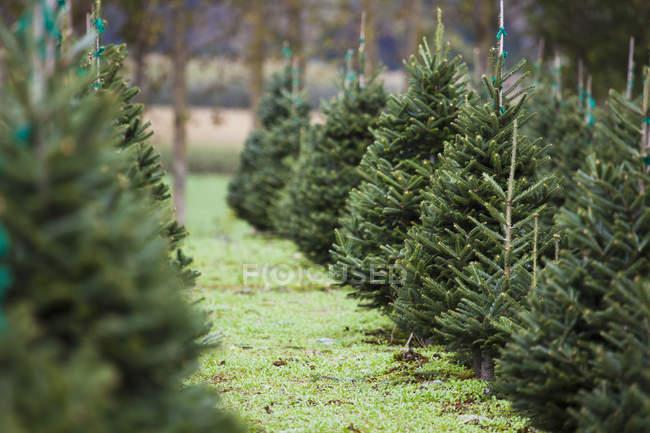 Fattoria dell'albero di Natale; Everson — Foto stock