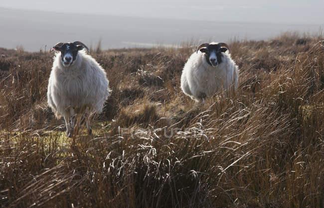 Pecora in piedi in un campo di erba alta — Foto stock