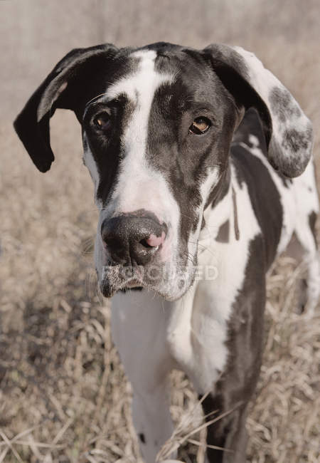 Harlequin Great Dane — Stock Photo