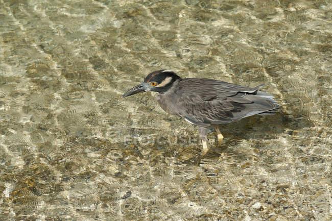 Heron waten im Wasser — Stockfoto