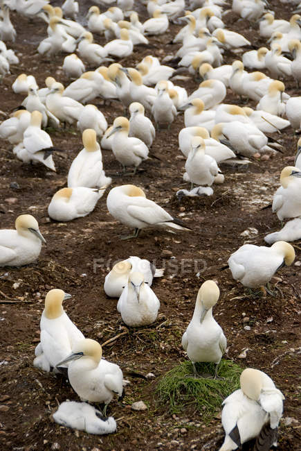Northern Gannet Colony — Stock Photo