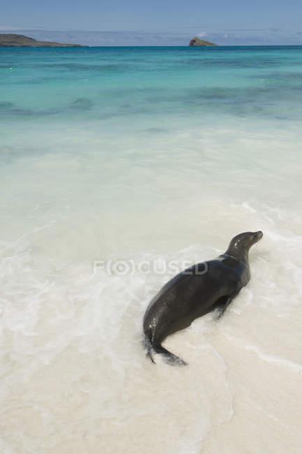 Seelöwen im seichten Wasser — Stockfoto