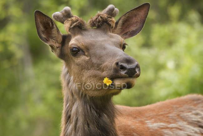 Alce con dente di leone in bocca — Foto stock