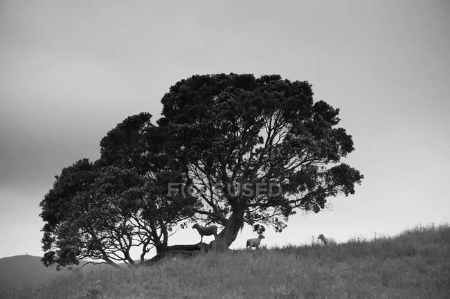 Силуэт дерева с овцами — стоковое фото