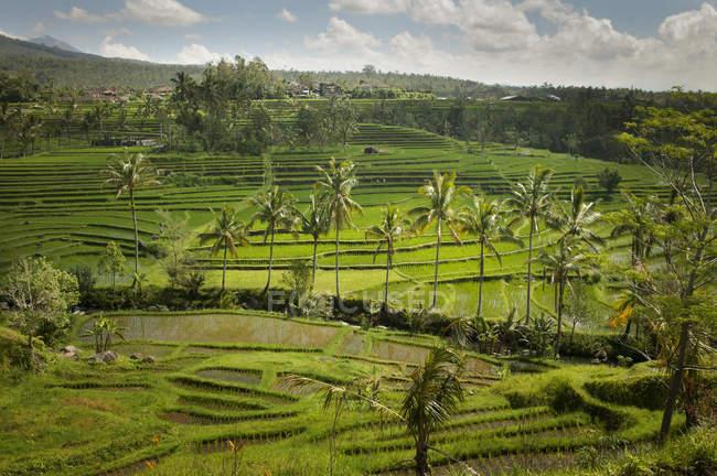 Rice Fields, Jatiluwih, Bali, — Stock Photo