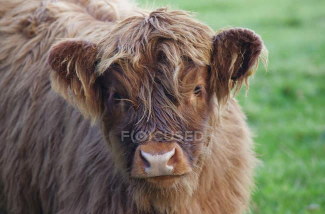Young Yak de pie sobre hierba - foto de stock