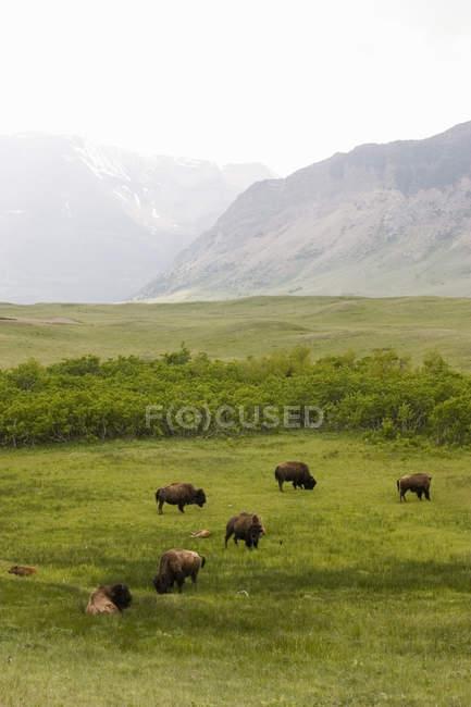 Büffel Weiden In Ausläufern — Stockfoto