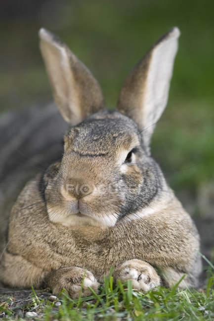 Внутренние кролик на траве — стоковое фото