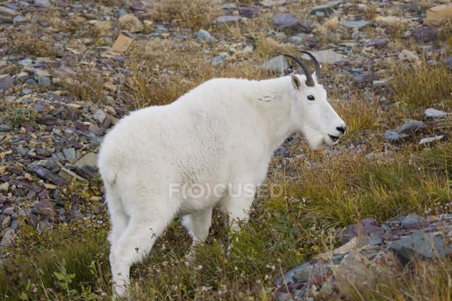 Cabra da montanha perto de Logan Pass — Fotografia de Stock