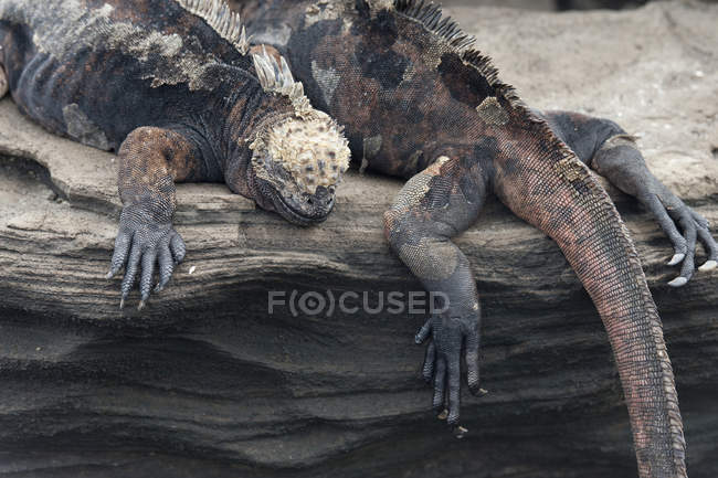 Iguane marin des Galapagos — Photo de stock