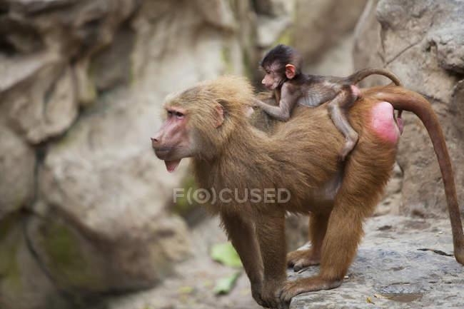 Babouin de la mère avec son bébé — Photo de stock