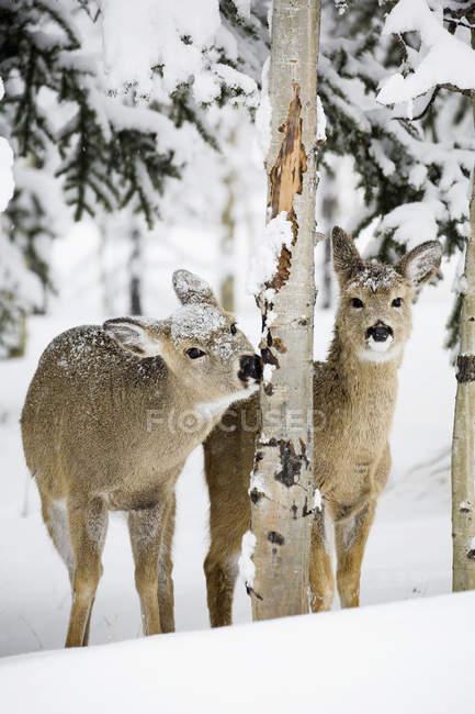 Due giovani cervi nella neve — Foto stock