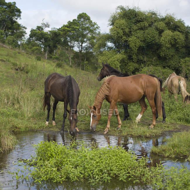Pferde Trinkwasser aus flachen Pool — Stockfoto