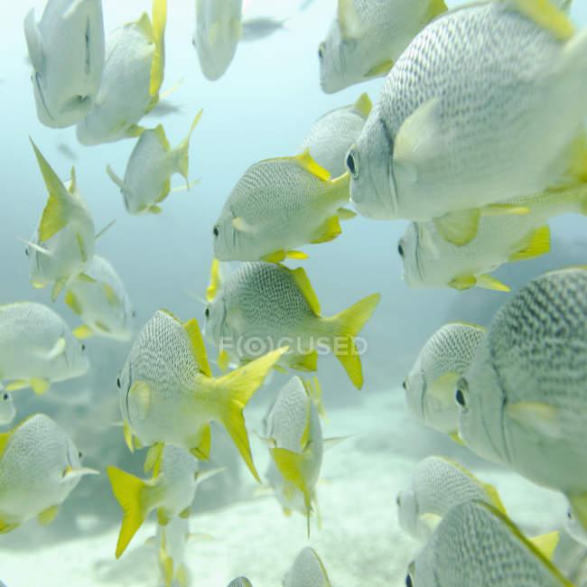 Gelbschwanz-Grunzfisch — Stockfoto