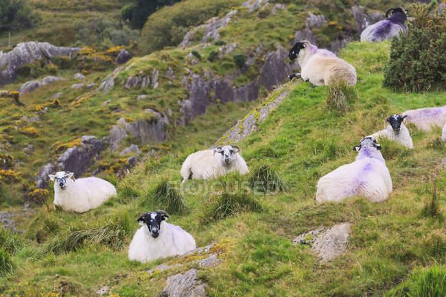 Moutons sur la colline proche Pass de Healy — Photo de stock