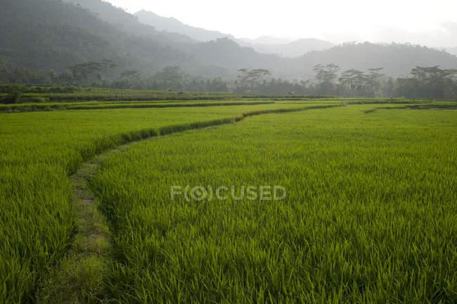 Champs agricoles en Indonésie — Photo de stock