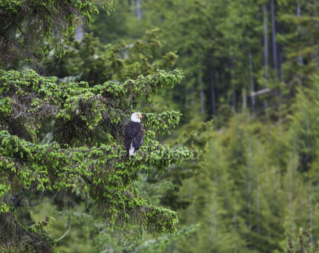 Águila calva - foto de stock
