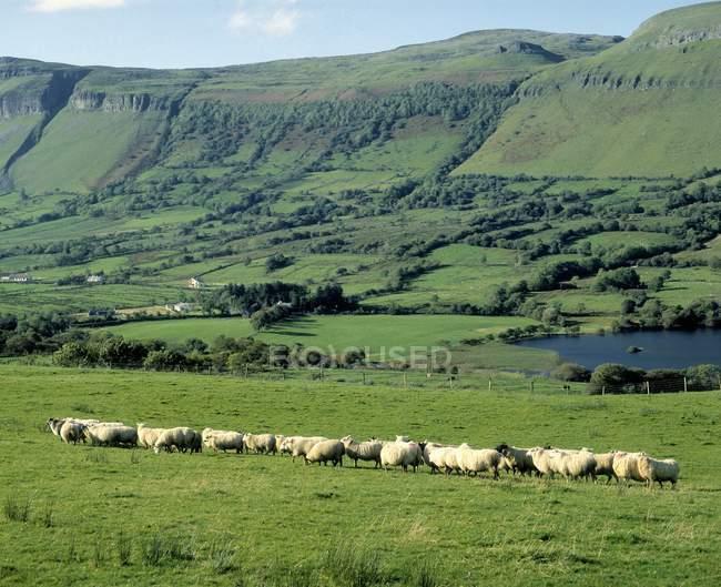 Schafe, Ben Bulben, Irland — Stockfoto