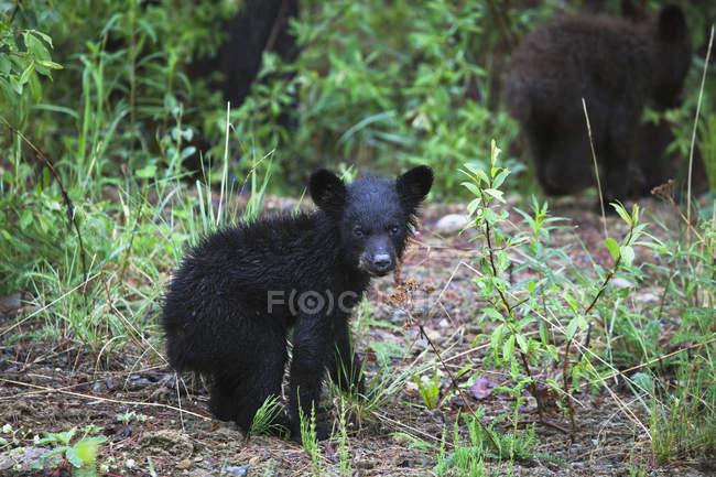 Jovem urso-negro — Fotografia de Stock