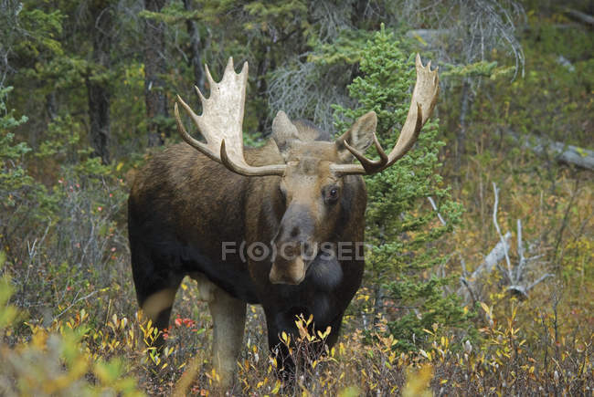 Moose standing In Forest — Stock Photo