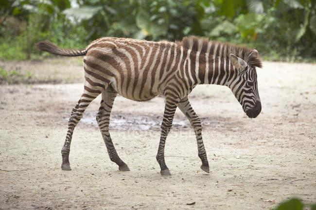 Детская Зебра прогулки — стоковое фото