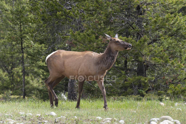 An Elk On The Edge Of Forest — Stock Photo