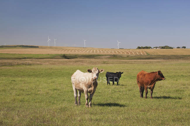 Cattle Grazing In Field With Wind Turbines — Stock Photo