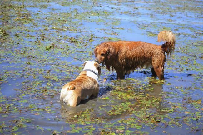 Dois cães, conhecer-se — Fotografia de Stock