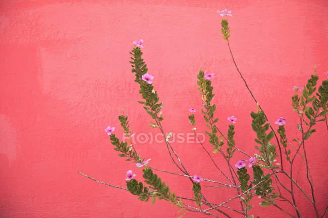 Planta de flor-de-rosa — Fotografia de Stock