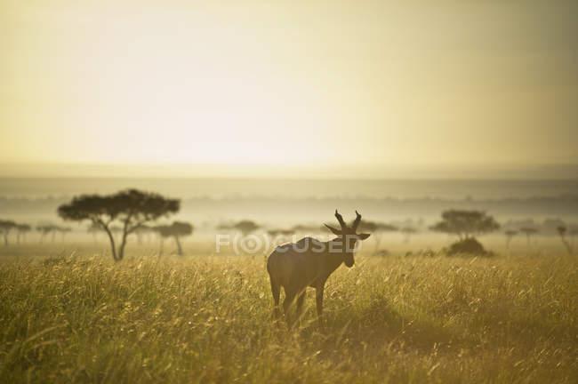 Антилопа ходить у пасовища — стокове фото