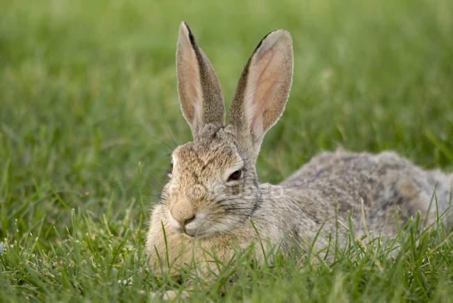 Кролик, сидя на траве — стоковое фото