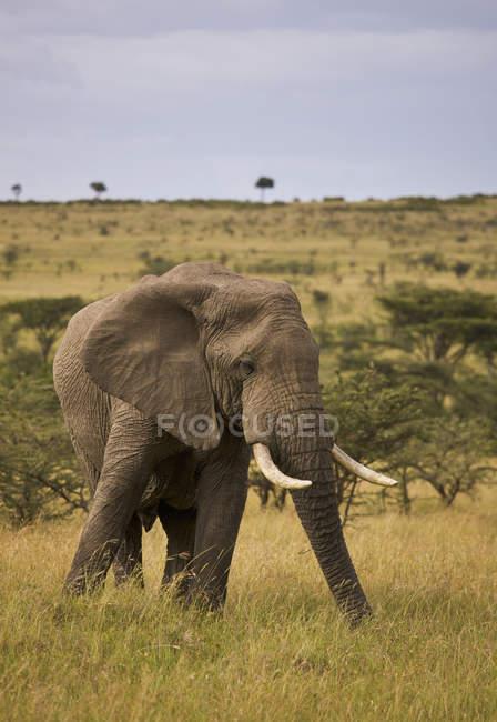 Huge Bull Elephant — Stock Photo