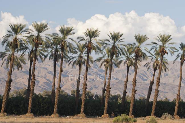 Пальмы на закате — стоковое фото