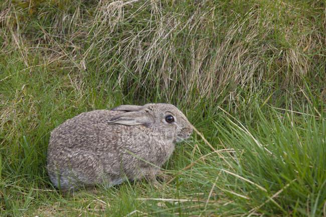 Коричневый кролик прячет в траве — стоковое фото