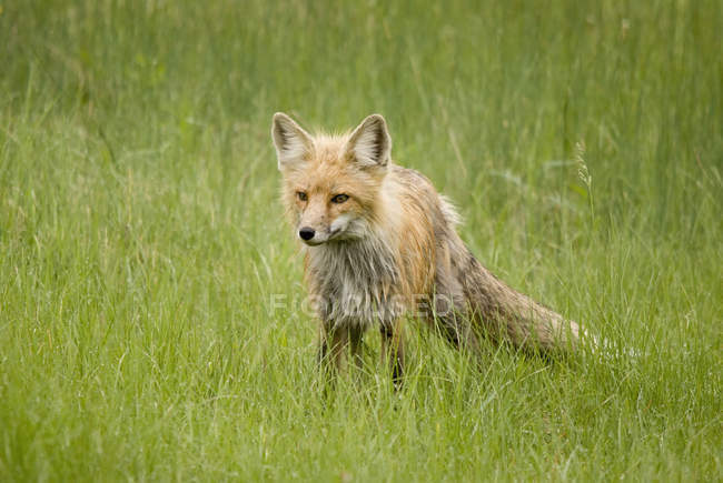 Rotfuchs Prince Albert Nationalpark — Stockfoto