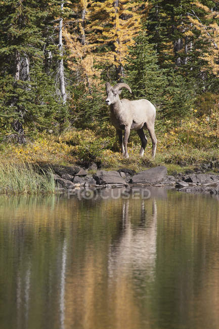 Bighorn Sheep in Rocky Mountain — Stock Photo