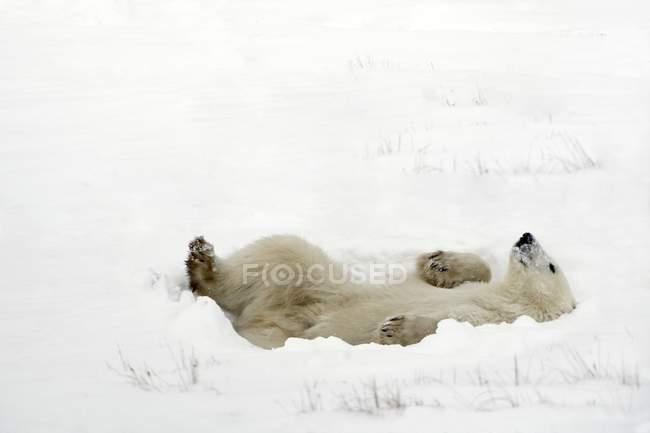 Oso polar acostado - foto de stock