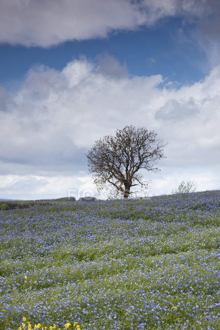 A Field Of Blue Wildflowers With Tree — Stock Photo