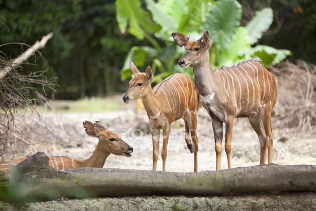 Антилопы Ньялы в Сингапурском зоопарке — стоковое фото