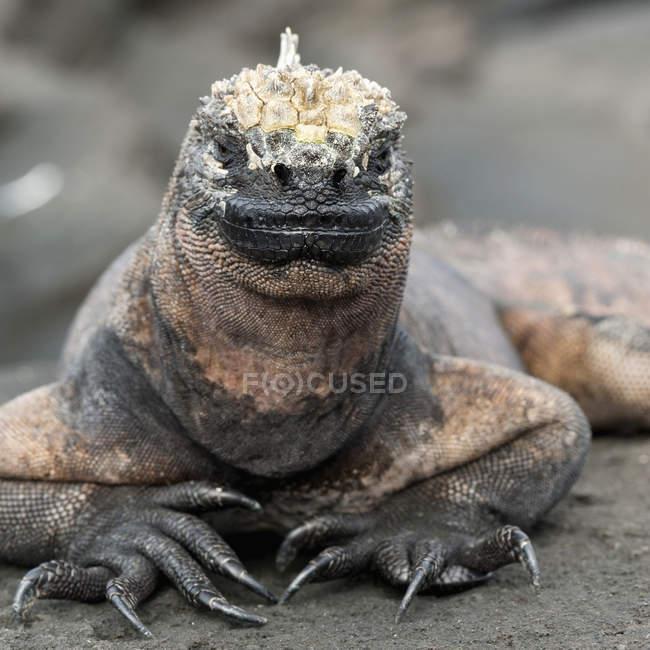 Marine Iguana guardando la fotocamera — Foto stock