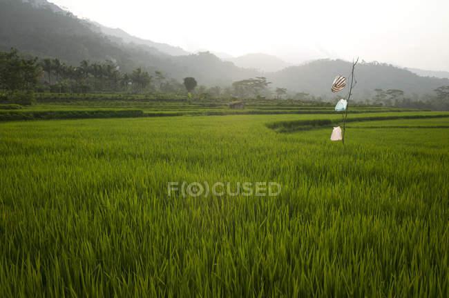 Campos agrícolas; Indonésia — Fotografia de Stock