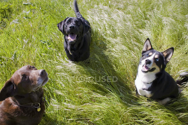 Три собаки в траве — стоковое фото