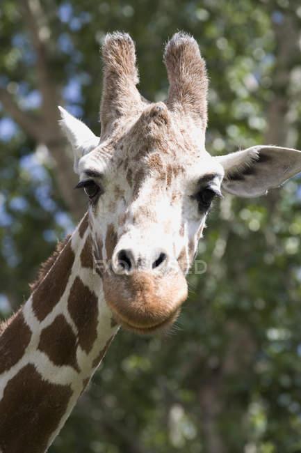 Primer plano de la cabeza y la cara de la jirafa - foto de stock