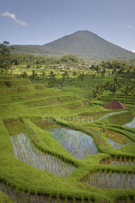 Campos de arroz; Jatiluwih, Bali, Indonésia — Fotografia de Stock