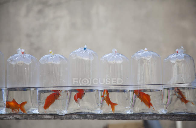 Plastic Bags Containing Goldfish — Stock Photo