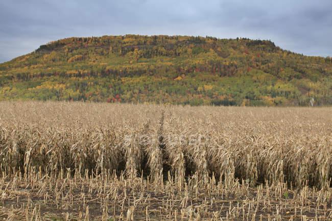 Вирізати кукурудзи в поле восени — стокове фото